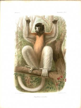 Propithecus Coronatus Lemur