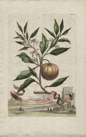 Malus Aurantia Striis Aureis Distincta [hand-colored with orange stripes]