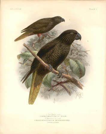 1. The Black Lory, Chalcopsittacus Ater.  2. Bernsteins Lory, Chalcopsittacus Bernsteini
