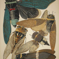 Seguy Cicadas
