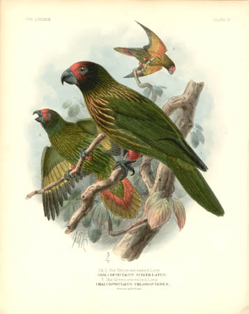 1 and 3. The Yellow-streaked Lory, Chalcopsittacus Scintillatus.  2. Green-streaked Lory, Chalcopsittacus Chloropterus