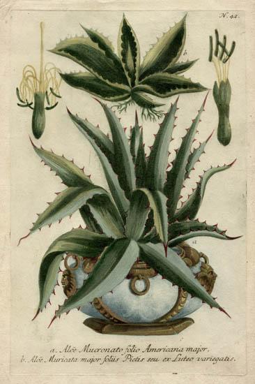 Weinmann, Plate 42, Aloes, Aloe Mucronato