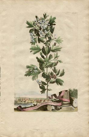 Oxyacantha Sive Spina Alba Flore