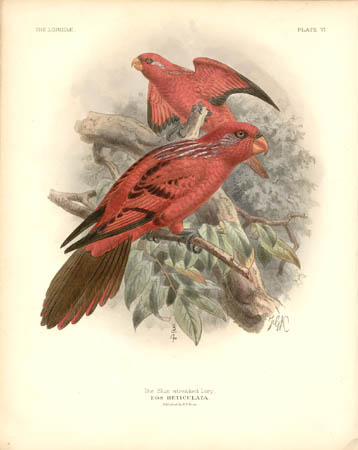 The Blue-streaked Lory, Eos Reticulata