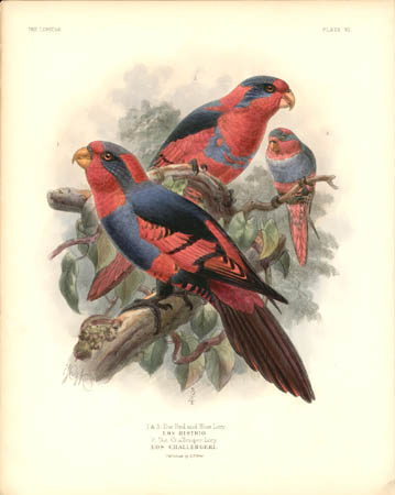 1 and 3. The Red and Blue Lory, Eos Histrio.  2. The Challenger Lory, Eos Challengeri