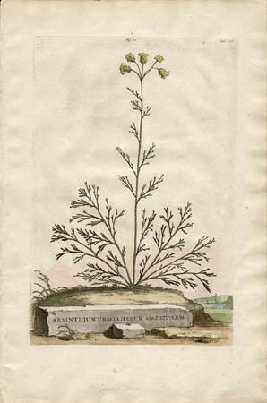 Absinthium Umbelliferum Angustifolium