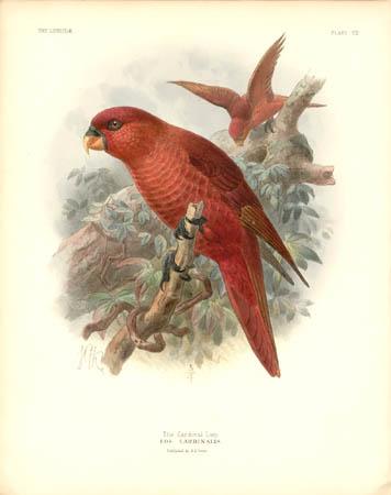 The Cardinal Lory, Eos Cardinalis
