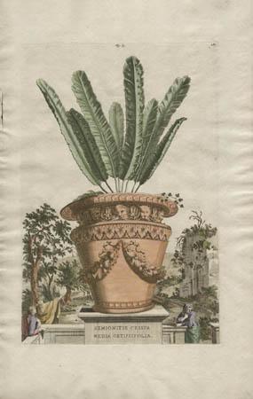 Hemionitis Crispa Media Obtusifolia