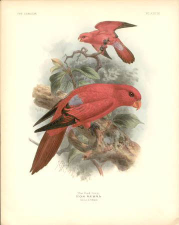 The Red Lory, Eos Rubra