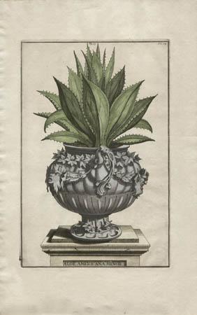 Aloe Americana Minor