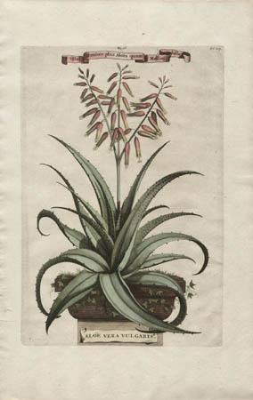 Aloe Vera Vulgaris, Vita Hominis plus Aloes quam Mellis habet