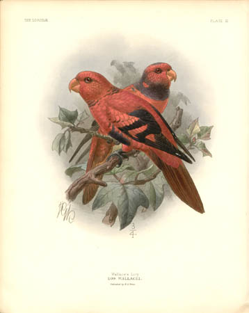 Wallace's Lory, Eos Wallacei