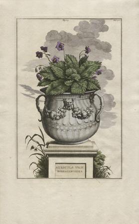 Auricula Ursi Borraginoides