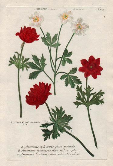 Weinmann Plate 119, Anemone sylvestris flore pallido
