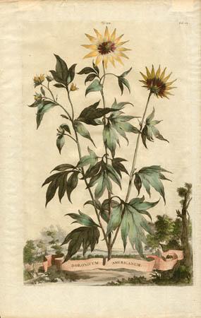 Doronicum Americanum