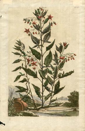 Solanum Lignosum Variegatum
