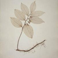 Convallaria latifolia Jacq.
