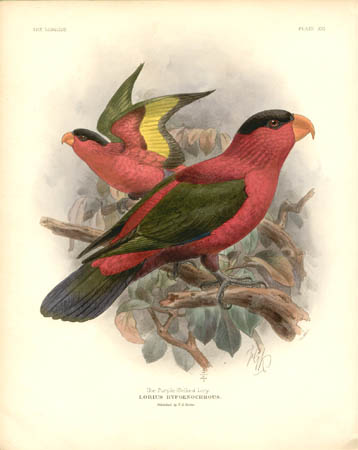 The Purple-Bellied Lory, Lorius Hypoenochrous