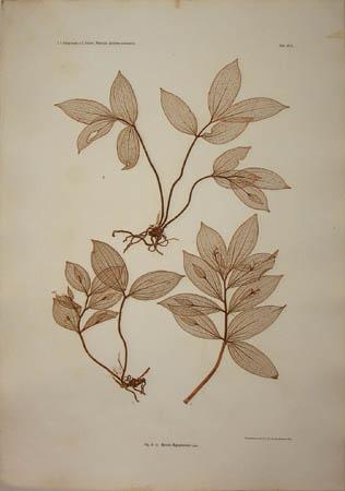 Ruscus hypoglossum Linn.