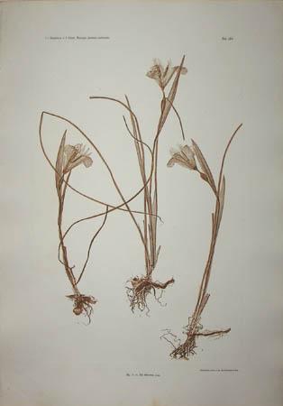 Iris tuberosa Linn.