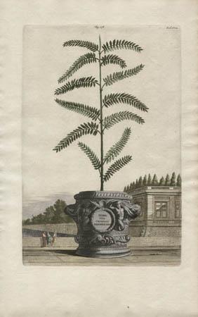 Herba Viva Chinensis Arborescens