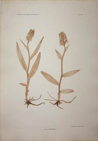 Orchis latifolia Linn., Plate 184 [Salep Orchid]