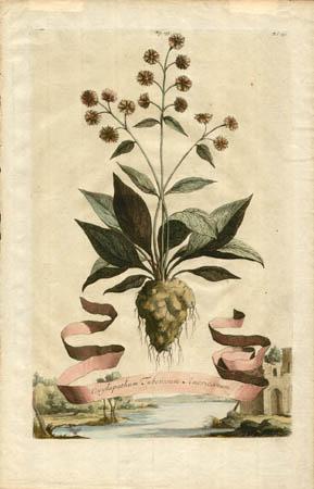 Oxylapathum Tuberosum Americanum