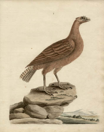The Tawny Vulture