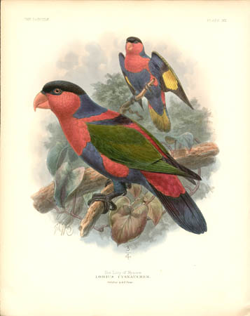 The Lory of Mysore, Lorius Cyanauchen