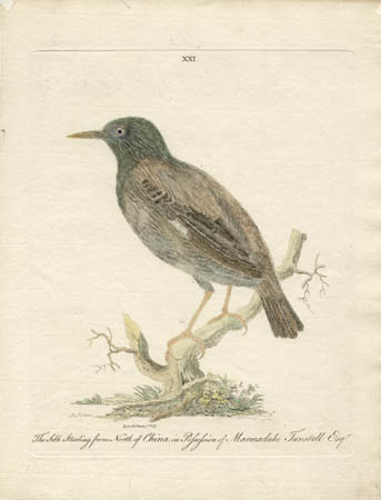 The Silk Starling from North of China in Possession of Marmaduke Tunstall Esq'r