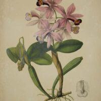 Plate 22, Cattleya superba