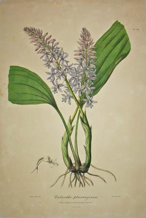 Plate 24, Calanthe plantaginea