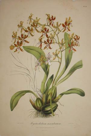 Plate 25, Cyrtochilum maculatum