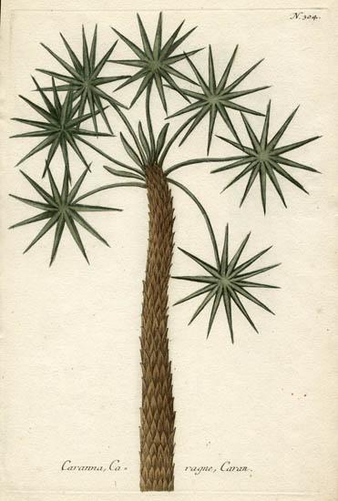 Weinmann Plate 304, Caranna Tree.