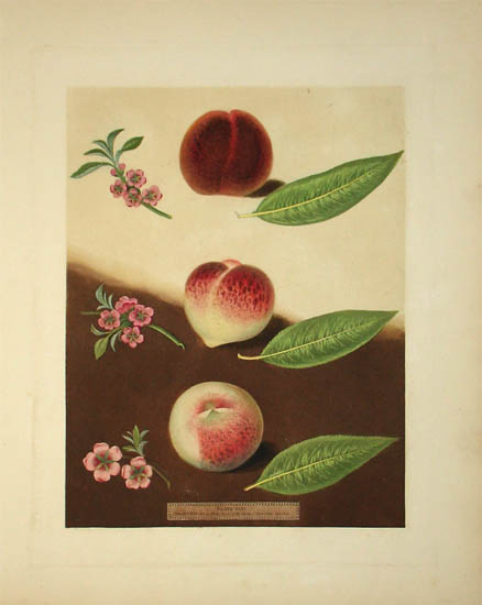 Plate XXXI [Peaches: Gallande, La Teton de Venus and Noblesse Peach]