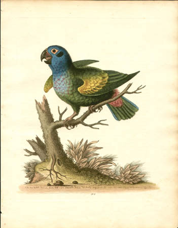 The Blue-Headed Parrot