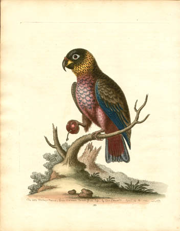 The Little Duskey Parrot from Surinam
