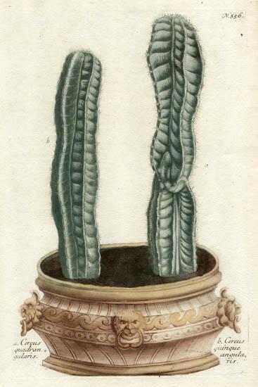 Weinmann Plate 356, Cactus