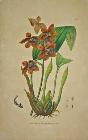 Plate 43, Maxillaria Brocklehurstiana