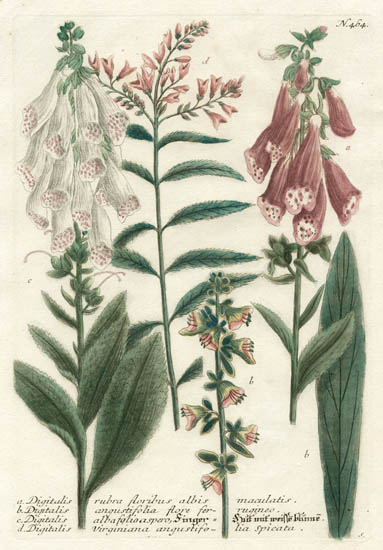 Weinmann Plate 464, Digitalis [Foxgloves]