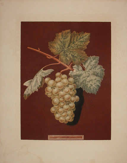 Plate LXIII [White Sweet Water Grapes]