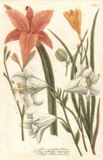 Weinmann Plate 651, Lilies