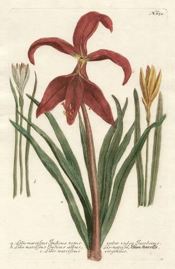 Weinmann Plate 652, Lilies