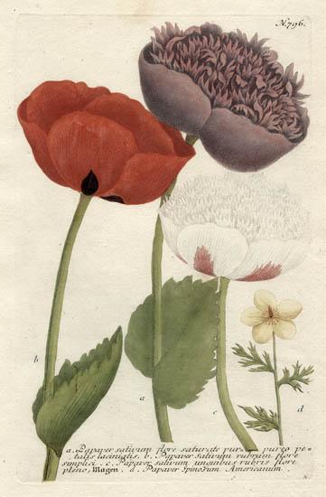 Weinmann Plate 796, Poppies