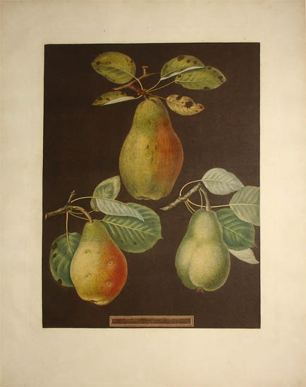 Plate LXXX [Pears: Chaumontelle, Windsor and Summer bon Chretien]