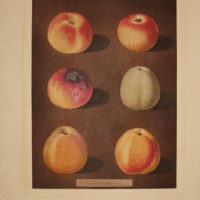 Plate XC [Apples: Striped Holland Pippin, Marygold Apple, Sullenworth's Rennet Apple and Beauty of Kent]