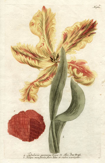 Weinmann Plate 982, Tulip and Coral