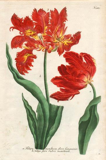 Weinmann Plate 983, Tulips