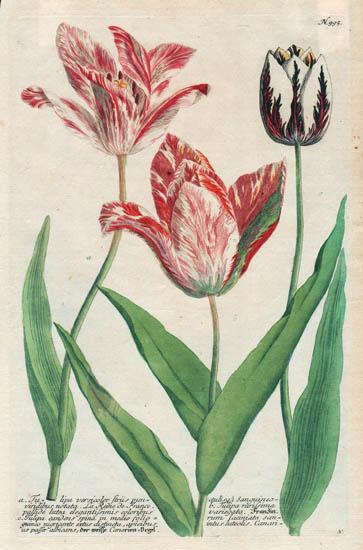 Weinmann Plate 995, Tulips