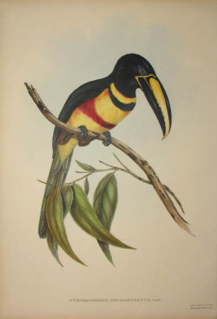Pteroglossus Pœcilosternus, Gould